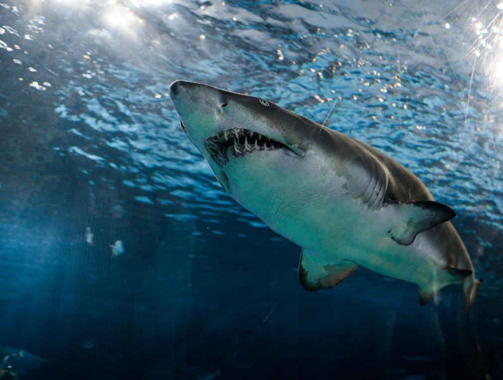 Ataque de tubarão branco deixa surfista com sérios ferimentos