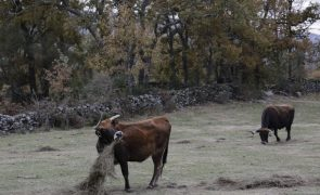 Covid-19: Criadores de maronesa doam carne e alertam para dificuldades nas vendas