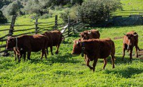 Em vias de extinção vaca algarvia é