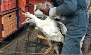 Surto de gripe aviária leva ao abate de centenas de milhares de patos