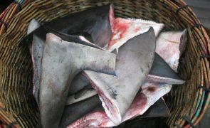 GNR apreende 83 barbatanas de tubarão no Porto de Pesca de Sesimbra