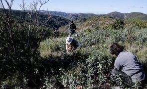 Replantação de áreas ardidas em Monchique promete maior resiliência ao fogo
