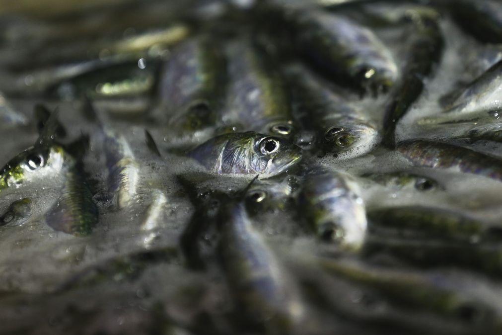Melhor recrutamento de juvenis de sardinha dos últimos 15 anos