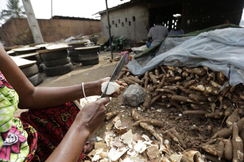 Angola garante aposta na fileira da produção da mandioca para exportação de derivados