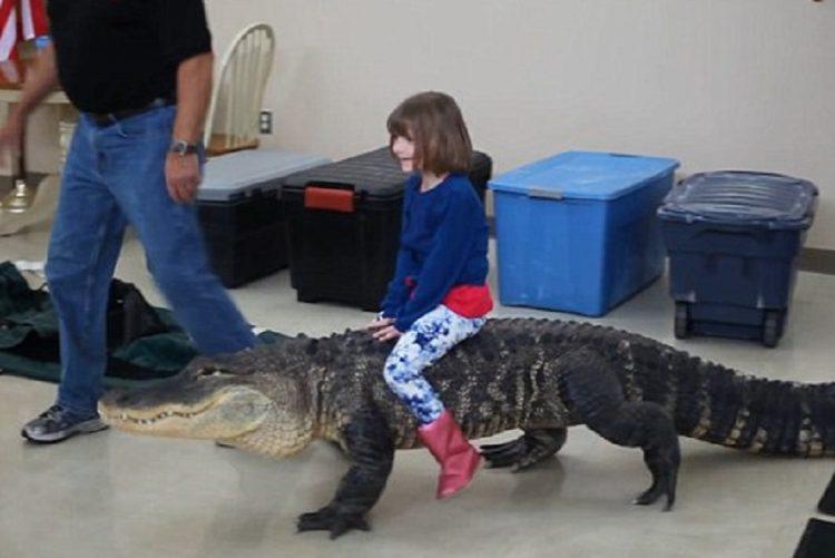 Que coragem! Menina de sete anos domina jacaré com 90 quilos!