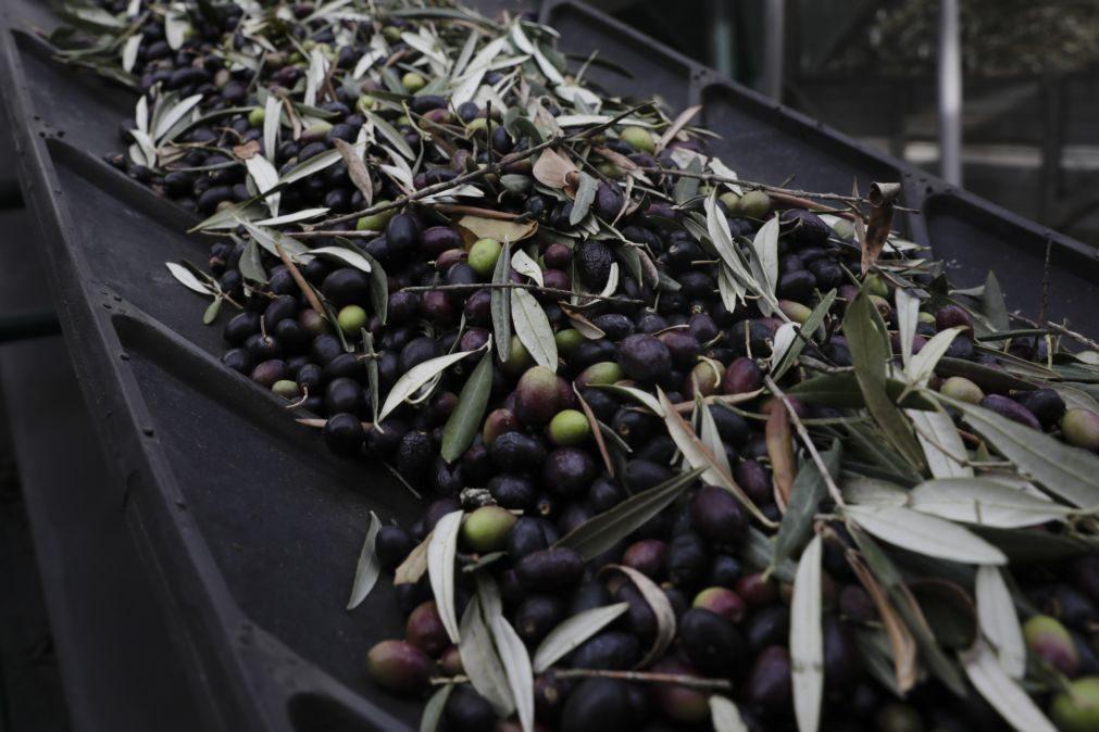 Universidade de Évora cria dispositivos contra uma das maiores pragas do olival