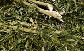 PJ de Cabo Verde destrói quase três toneladas de plantações de canábis