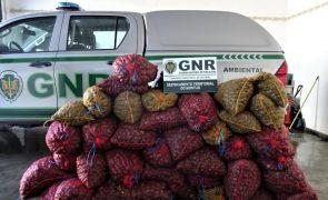 GNR apreende toneladas de bivalves e artigos contrafeitos na Grande Lisboa