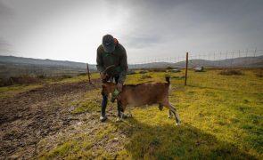 Criadores da serra do Alvão seguem pelo telemóvel cabras e vacas com coleiras GPS