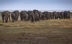 Elefantes destroem 20 hectares de cultivo em comuna da província angolana da Huíla