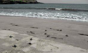 Cabo Verde com recorde de quase 200.000 ninhos de tartarugas em 2020 - ministro