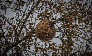 Paredes eliminou 878 ninhos de vespa asiática em três anos
