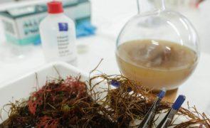 Algas marinhas podem reduzir até 82% as emissões de metano do gado bovino