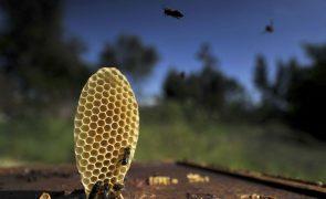 Apicultores do Norte alertam para quebras na produção de mel devido à vespa asiática