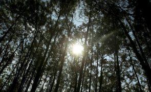 Investigadores concluem que eucalipto pode ajudar a prevenir risco de incêndios