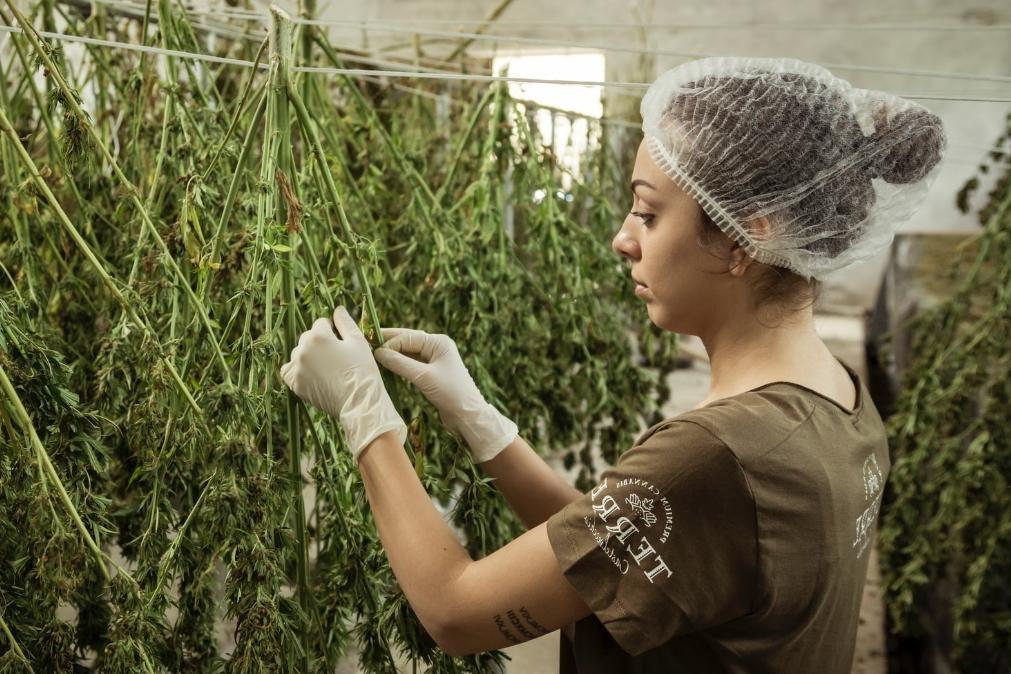 Cannabis inibe a replicação de covid-19 em células pulmonares humanas