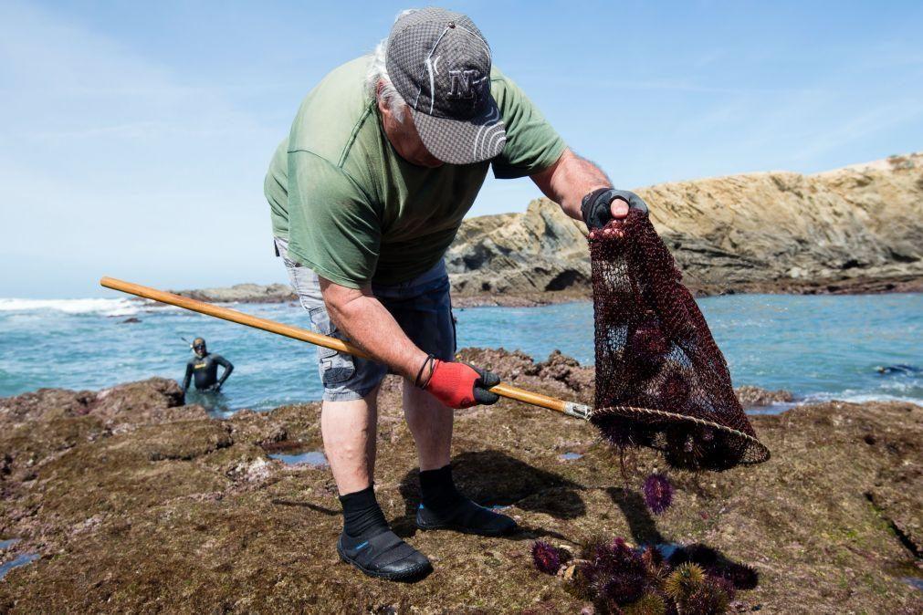 GNR apreende mais de 700 quilos de ouriços-do-mar em Viana do Castelo