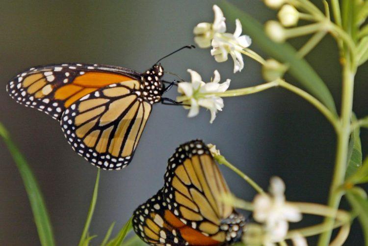 Cerca de 10% das borboletas diurnas podem estar ameaçadas de extinção - cientista