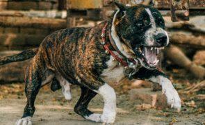 Abatido pela Polícia pitbull que atacou e matou criança de 2 anos