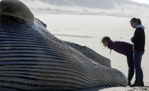 Baleia morta em praia no Algarve levanta questões sobre remoção