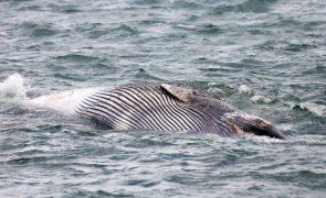 Condições de tempo desfavoráveis atrasam remoção de baleia encalhada no Algarve