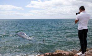 Baleia que encalhou no Algarve foi rebocada para zona segura