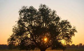 Agricultura intensiva tem influenciado declínio de sobreiros e azinheiras no País