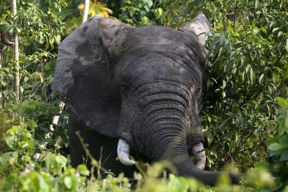 Número de elefantes na Costa do Marfim cai para metade e coloca espécie à beira da extinção