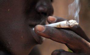 Estudo em Bissau conclui que 80% das famílias têm alguém que consome liamba