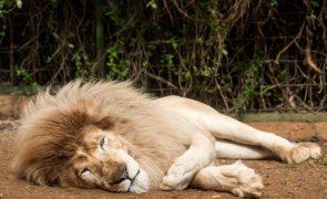 África do Sul vai proibir criação de leões em cativeiro para caça ou entretenimento
