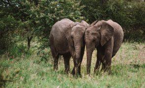 Caçadores ilegais mortos por elefantes na África do Sul