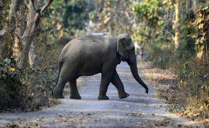 Polícia angolana detém caçadores furtivos que abatiam elefantes para tráfico de marfim na Huíla