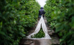 Covid-19: Empresas agrícolas de Odemira com falta de mão de obra
