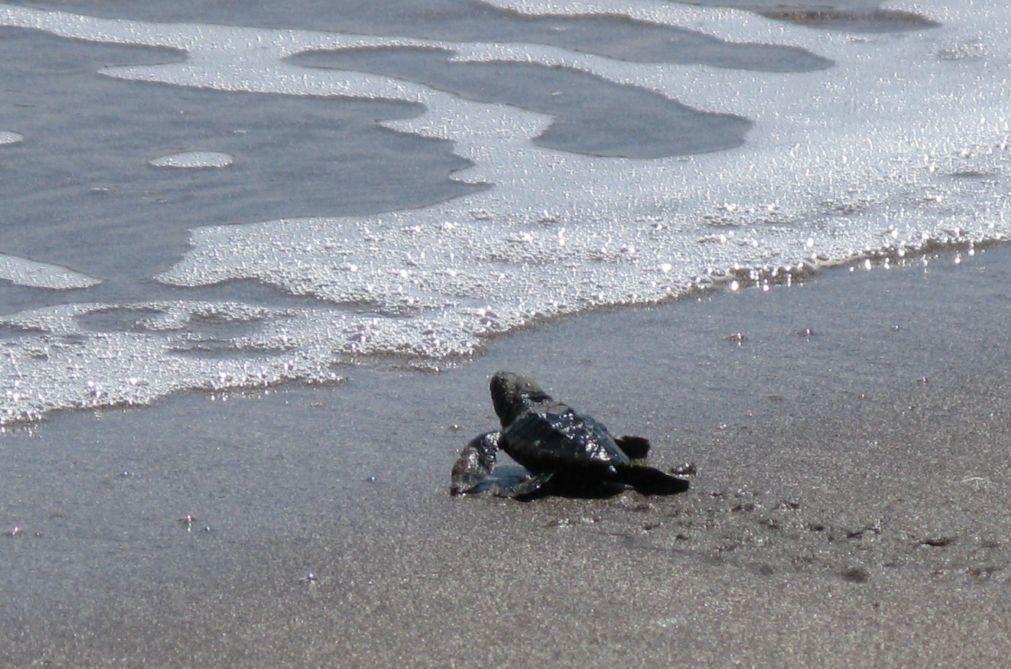 Mais de cem voluntários limpam praias de duas ilhas cabo-verdianas à espera das tartarugas