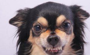 Por que são mais ferozes os cães de raça pequena?