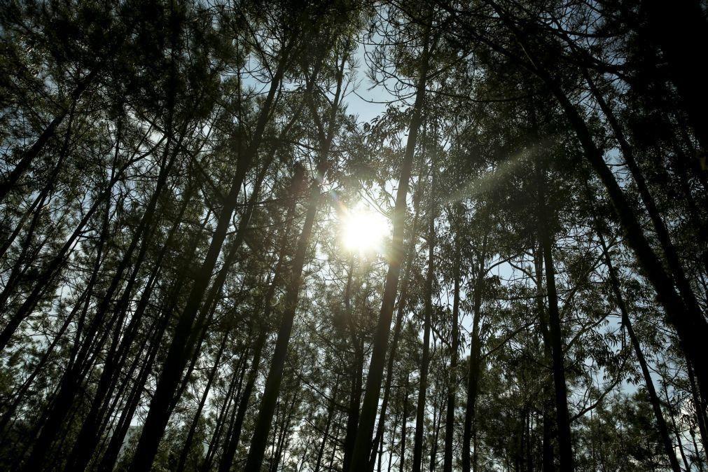 Estudo concluiu que eucalipto não consome mais água do que pinheiro bravo