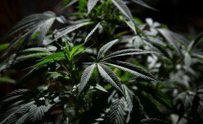 Governo são-tomense nega autorização para cultivo de canábis para fins medicinais