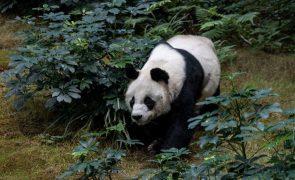 Panda deixa de ser espécie