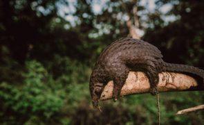 China confisca 2,2 toneladas de escamas de pangolim junto ao Vietname