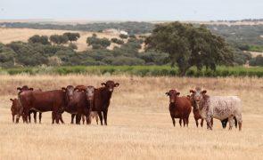 Subida dos fatores de produção 'assusta' criador de bovinos no Alentejo