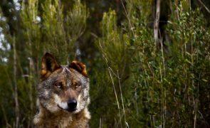 Lobo ibérico regressa ao distrito de Castelo Branco após várias décadas