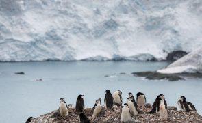 Estudo revela presença de microplásticos em pinguins da Antártida há mais de 15 anos