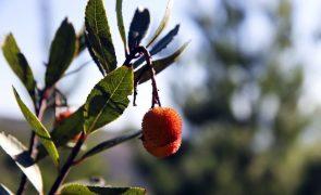 Incêndios em Monchique provocaram quebra de 50% na colheita de medronho