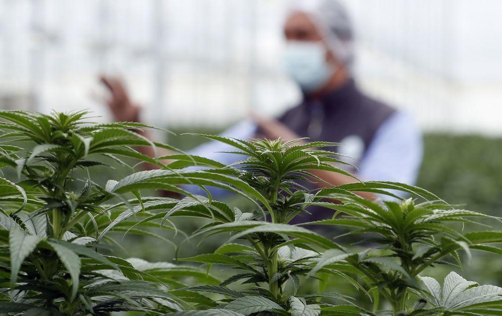 Maior venda de canábis medicinal a granel da UE vai sair de Aljustrel