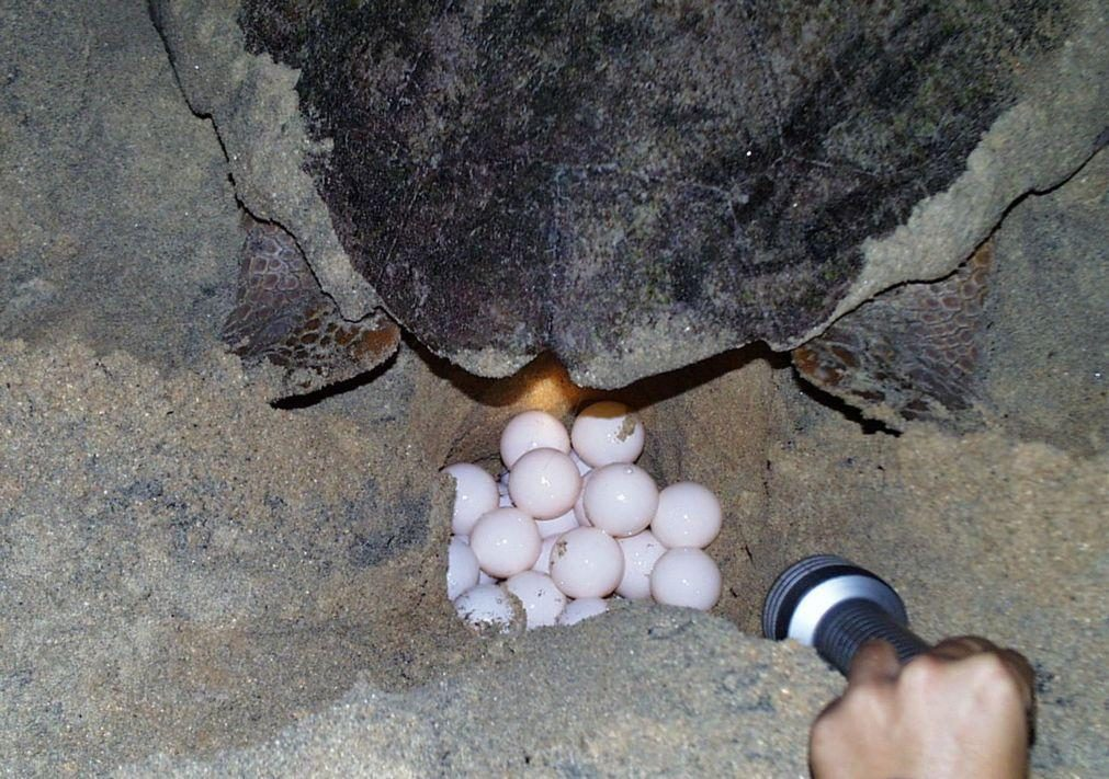 Mais de 5.700 ninhos de tartarugas em cinco quilómetros de praia na ilha da Boa Vista