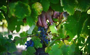 Frutalmente investe 2 milhões de euros para triplicar área de produção de uva sem grainha