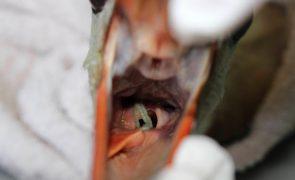 Veterinários salvam cegonha que engoliu tampão higiénico
