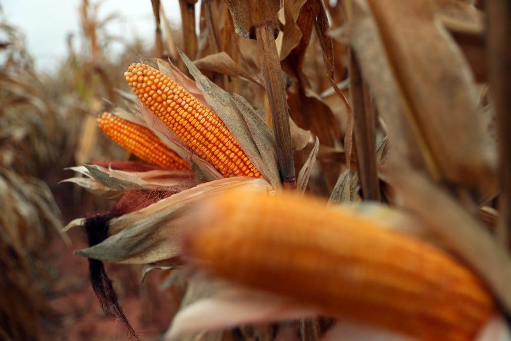Decisão do Governo pode pôr em causa sustentabilidade das explorações de milho - Agrotejo