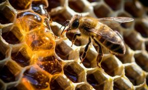 Setor do mel