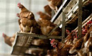 Criadores obrigados a registar galinhas poedeiras em setembro -- DGAV